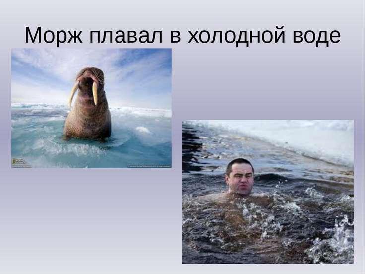 Морж плавал в холодной воде