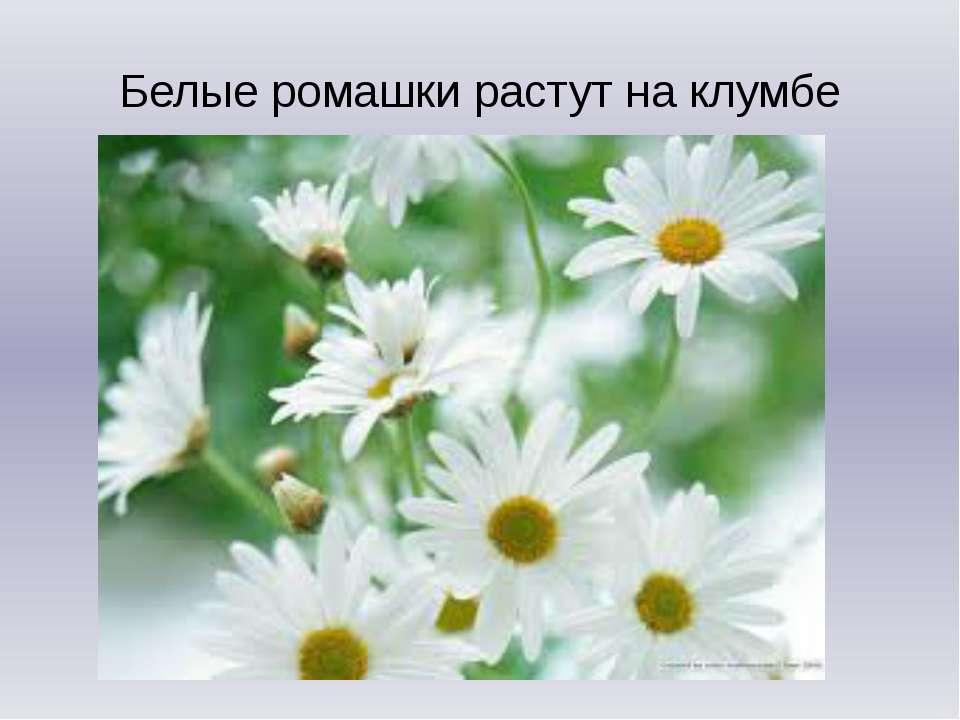 Белые ромашки растут на клумбе