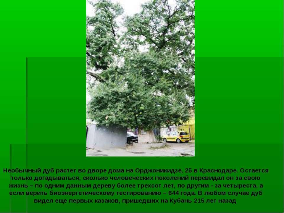 Необычный дуб растет во дворе дома на Орджоникидзе, 25 в Краснодаре. Остается...