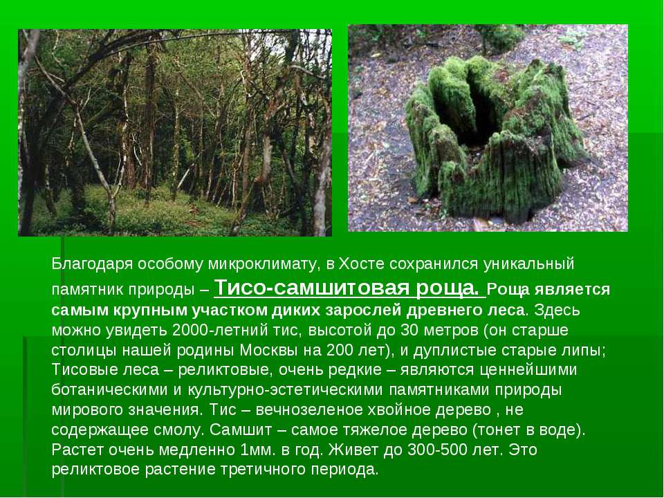 Благодаря особому микроклимату, в Хосте сохранился уникальный памятник природ...