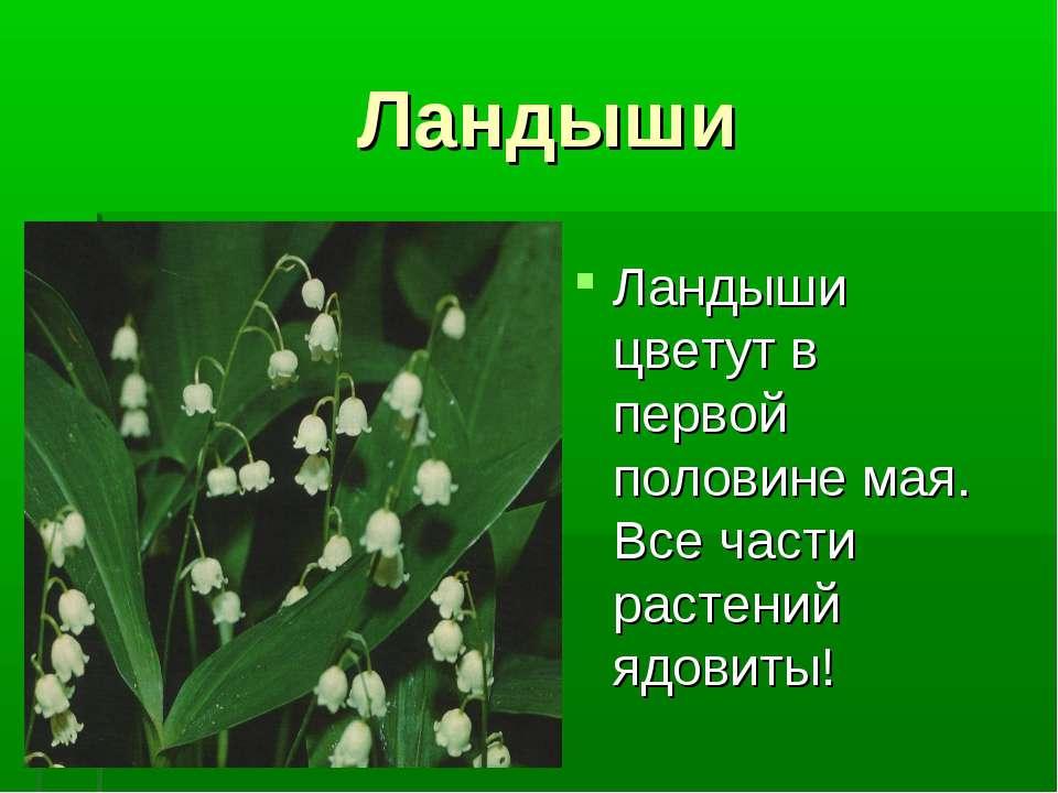 Ландыши ландыши Ландыши цветут в первой половине мая. Все части растений ядов...