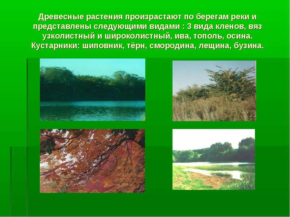 Древесные растения произрастают по берегам реки и представлены следующими вид...