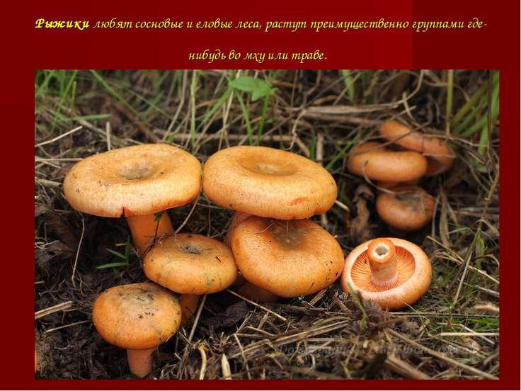 Рыжики любят сосновые и еловые леса, растут преимущественно группами где-нибу...