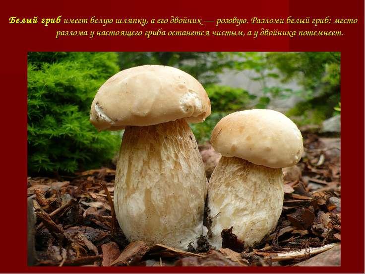Белый грибимеет белую шляпку, а его двойник — розовую. Разломи белый гриб: м...