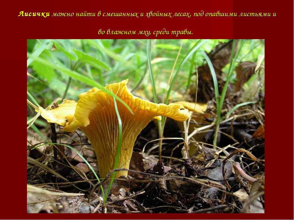 Лисички можно найти в смешанных и хвойных лесах, под опавшими листьями и во в...