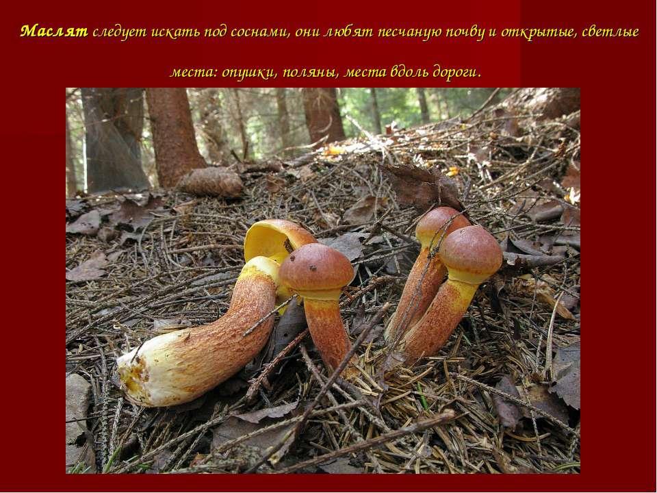 Маслят следует искать под соснами, они любят песчаную почву и открытые, светл...