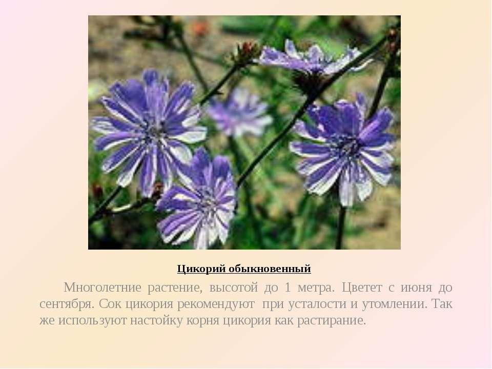 Цикорий обыкновенный Многолетние растение, высотой до 1 метра. Цветет с июня ...