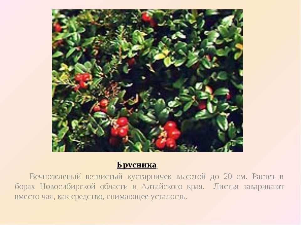 Брусника Вечнозеленый ветвистый кустарничек высотой до 20 см. Растет в борах ...