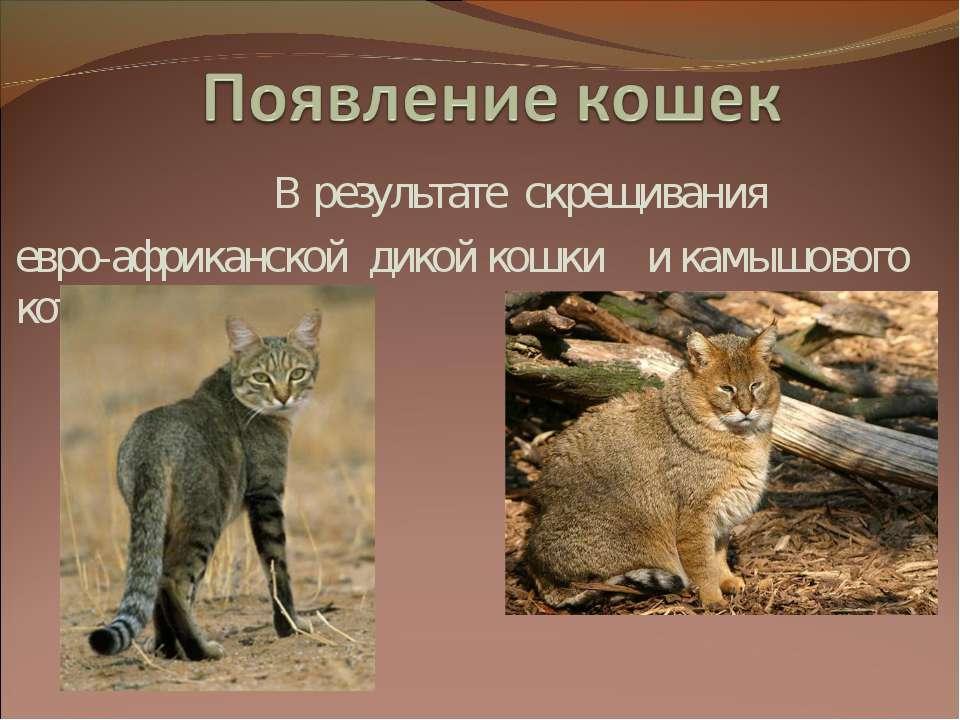 В результате скрещивания евро-африканской дикой кошки и камышового кота.