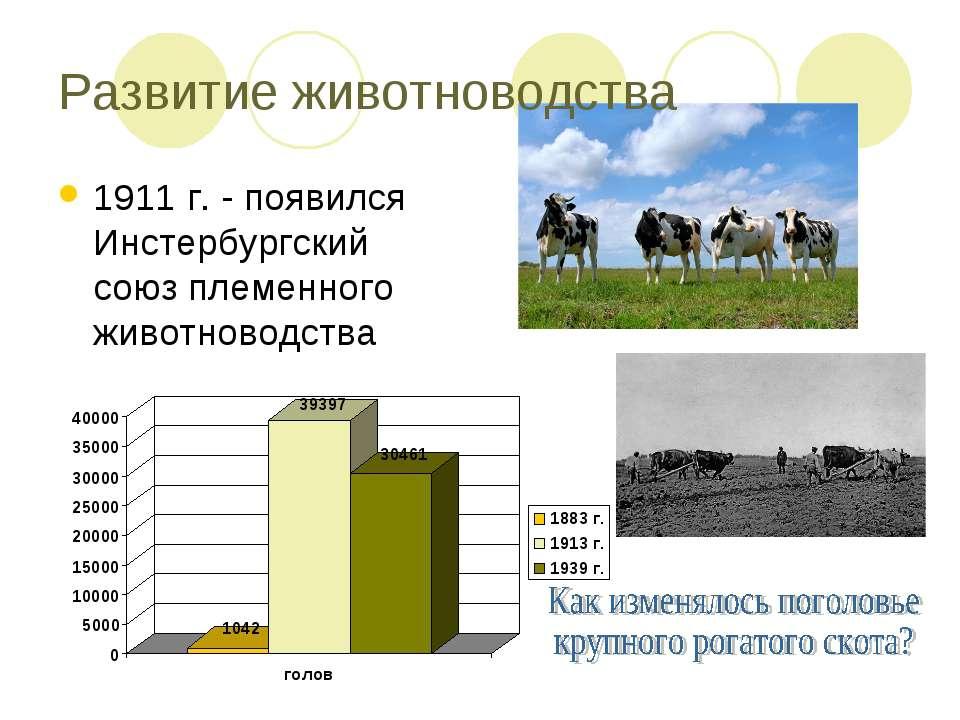 Развитие животноводства 1911 г. - появился Инстербургский союз племенного жив...