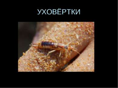 УХОВЁРТКИ