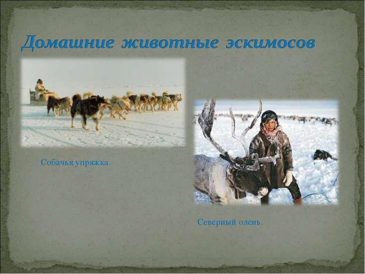 Северный олень. Собачья упряжка.