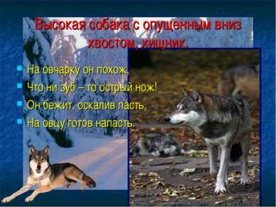 Высокая собака с опущенным вниз хвостом, хищник. На овчарку он похож, Что ни ...