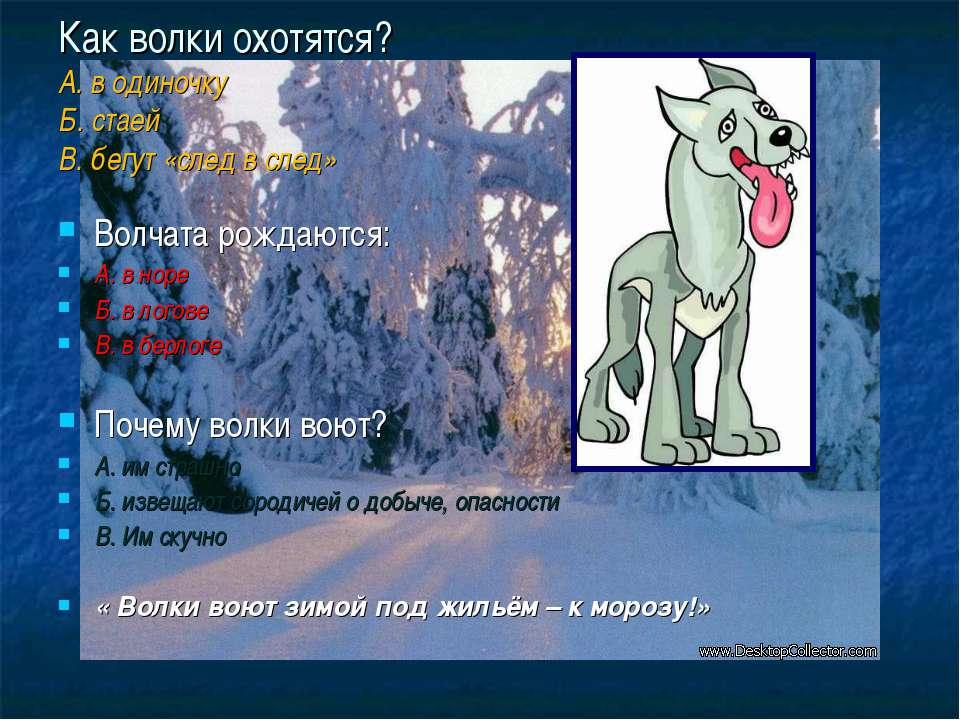 Как волки охотятся? А. в одиночку Б. стаей В. бегут «след в след» Волчата рож...