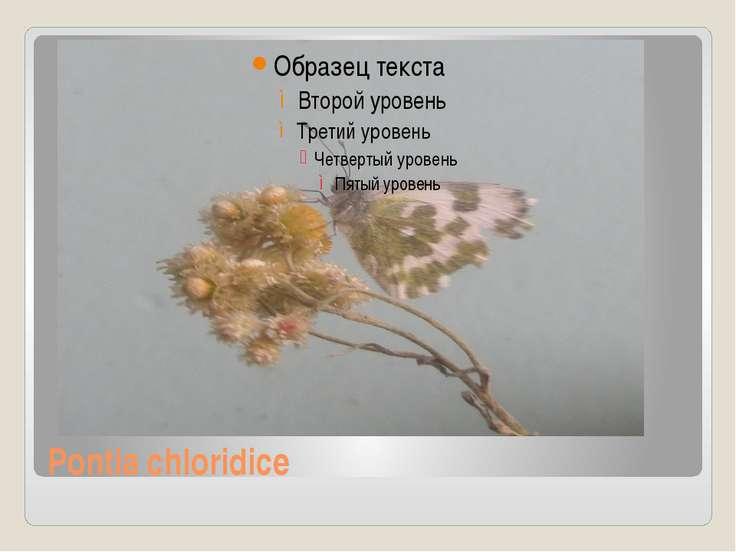 Pontia chloridice