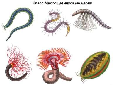 Класс Многощетинковые черви