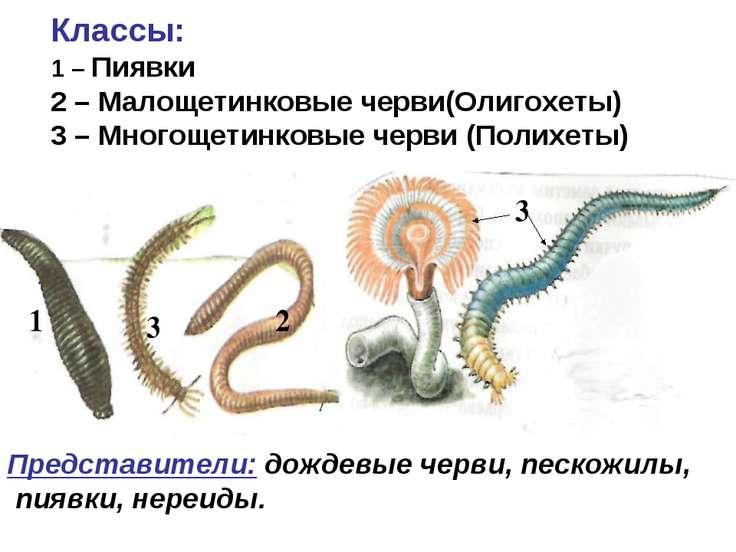 1 2 3 3 Классы: 1 – Пиявки 2 – Малощетинковые черви(Олигохеты) 3 – Многощетин...