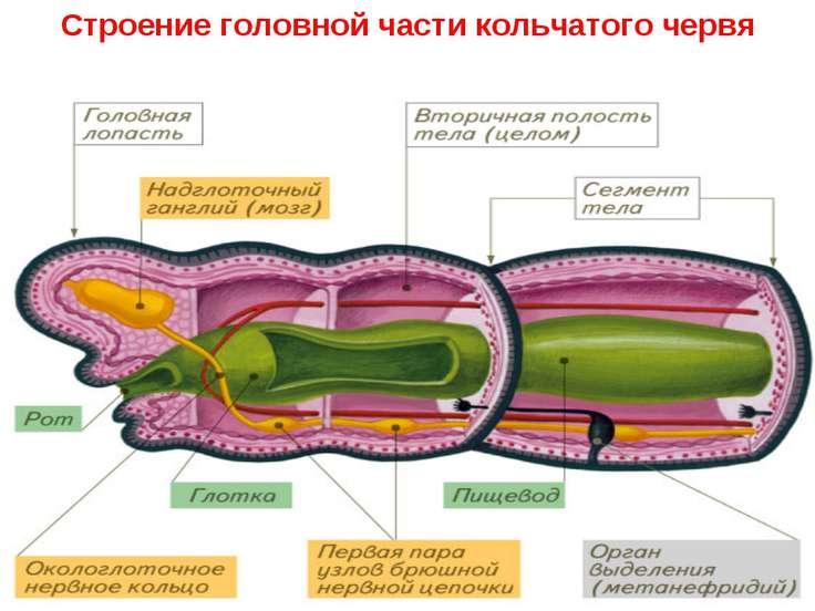 Строение головной части кольчатого червя