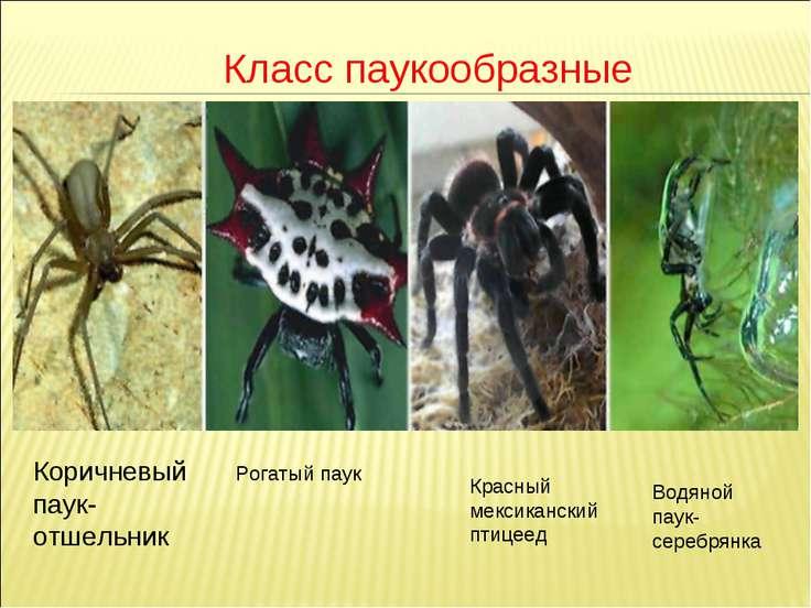 Класс паукообразные Коричневый паук-отшельник Рогатый паук Красный мексиканск...