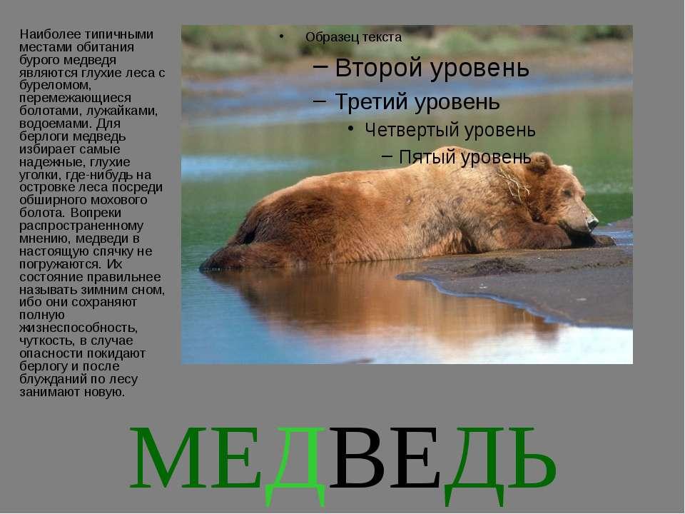 МЕДВЕДЬ Наиболее типичными местами обитания бурого медведя являются глухие ле...