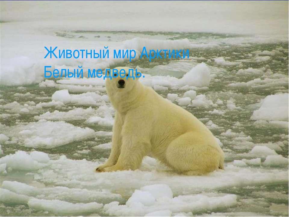 Животный мир Арктики Белый медведь.