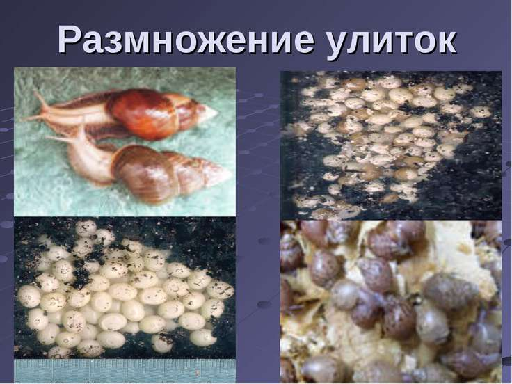 Размножение улиток