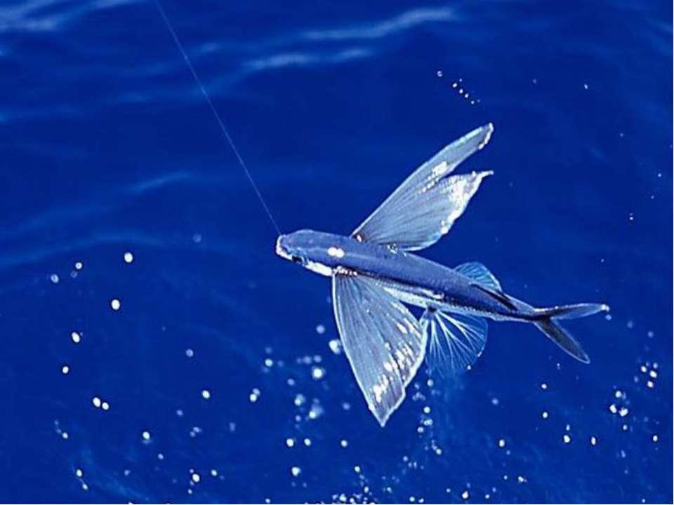 Свой полет этот объект использует для защиты от хищников: акул, касаток и др....