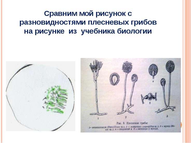 Сравним мой рисунок с разновидностями плесневых грибов на рисунке из учебника...