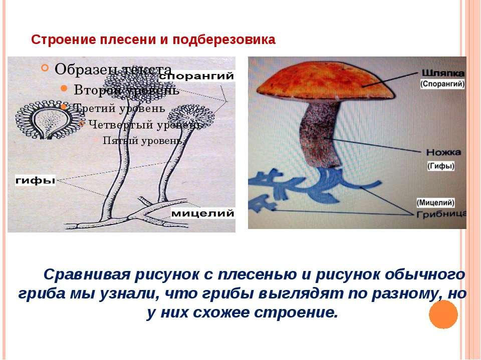 Строение плесени и подберезовика Сравнивая рисунок с плесенью и рисунок обычн...