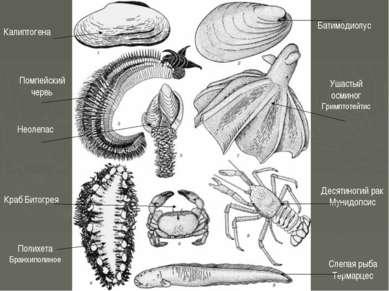 Калиптогена Батимодиолус Помпейский червь Неолепас Ушастый осминог Гримптотей...