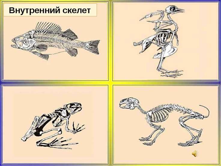 Внутренний скелет