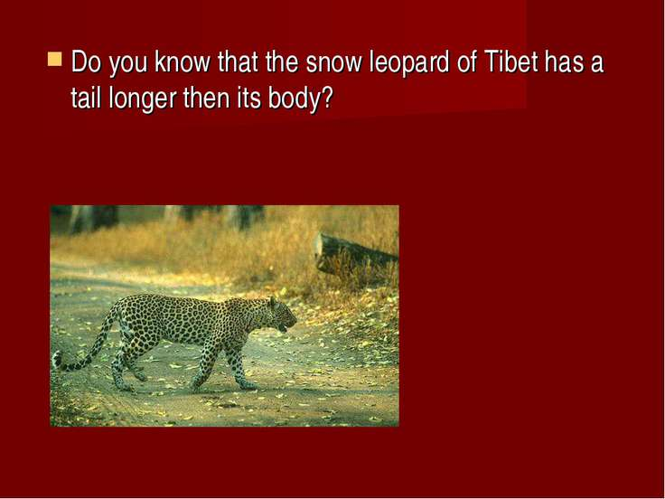 Do you know that the snow leopard of Tibet has a tail longer then its body?
