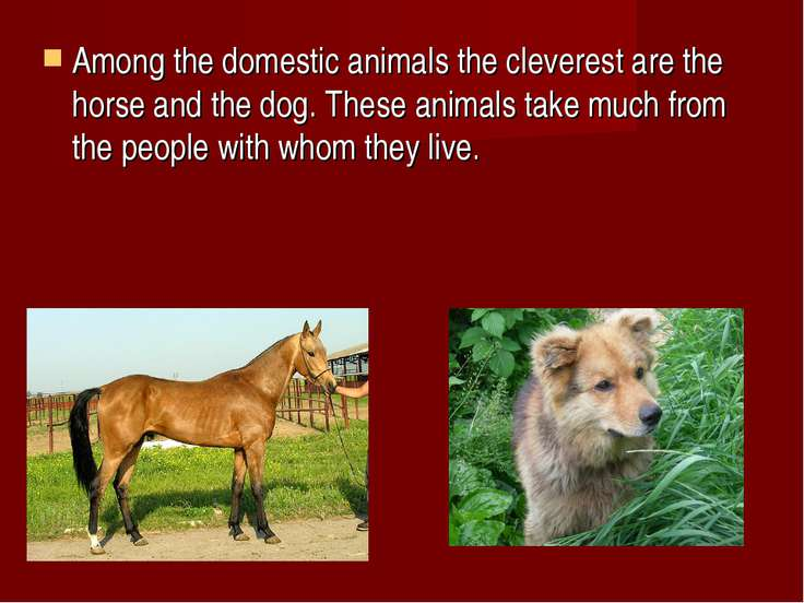 Among the domestic animals the cleverest are the horse and the dog. These ani...