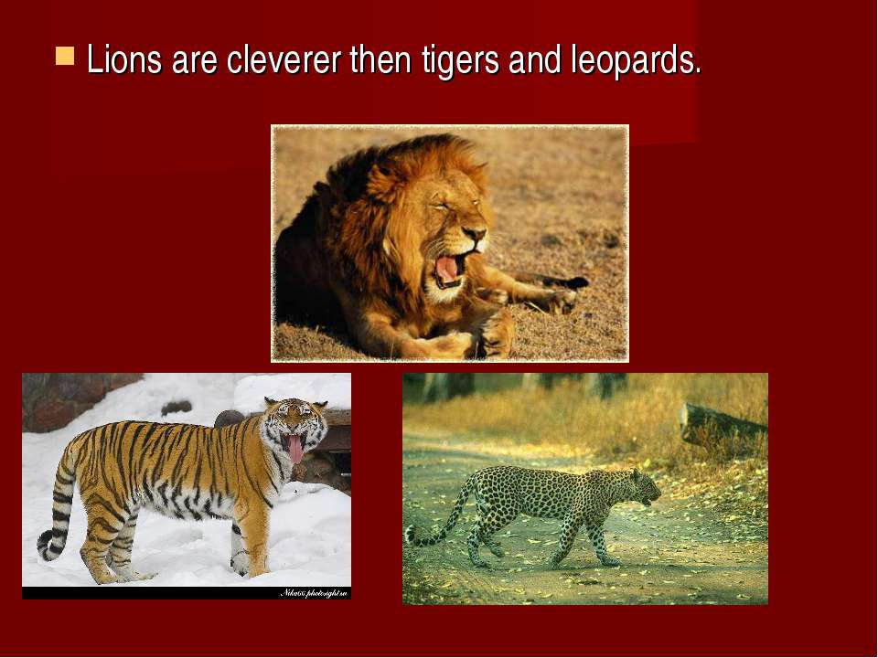 Lions are cleverer then tigers and leopards.