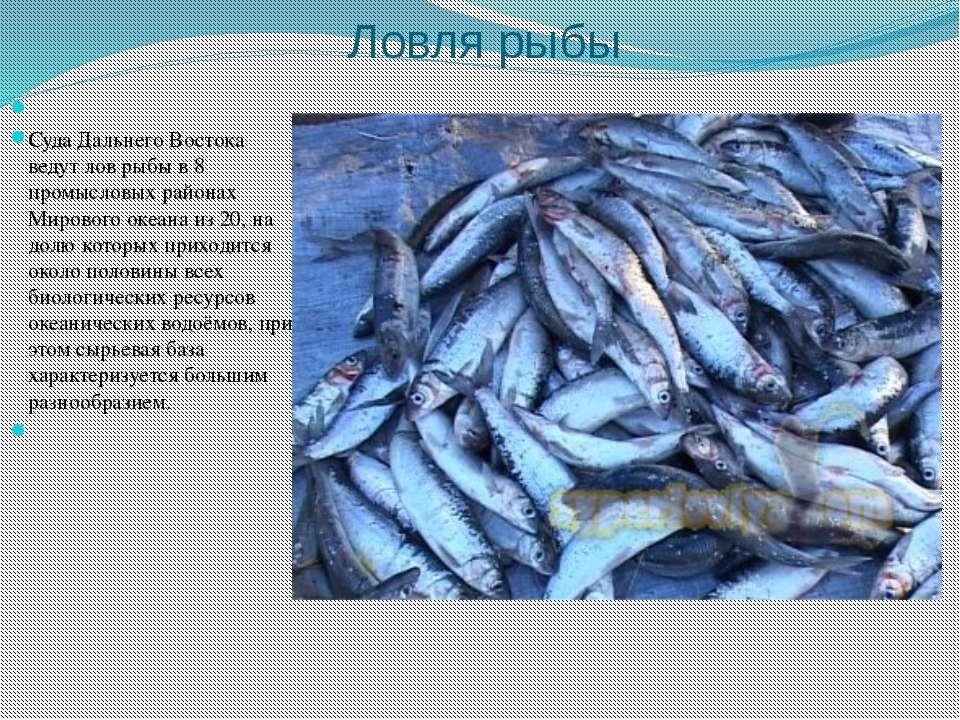 Ловля рыбы  Суда Дальнего Востока ведут лов рыбы в 8 промысловых районах Мир...
