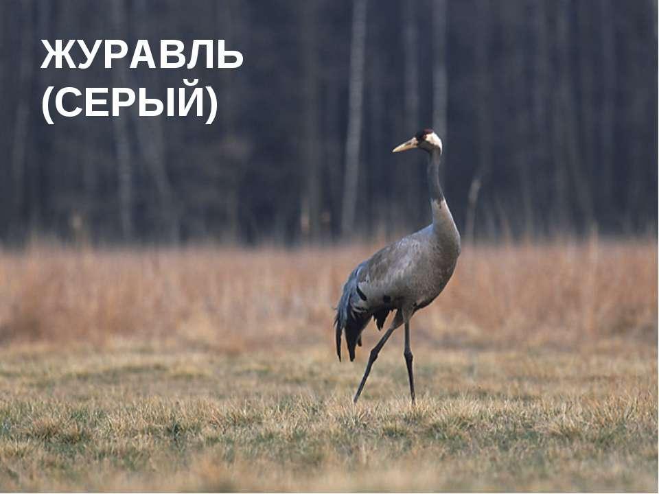 ЖУРАВЛЬ (СЕРЫЙ)