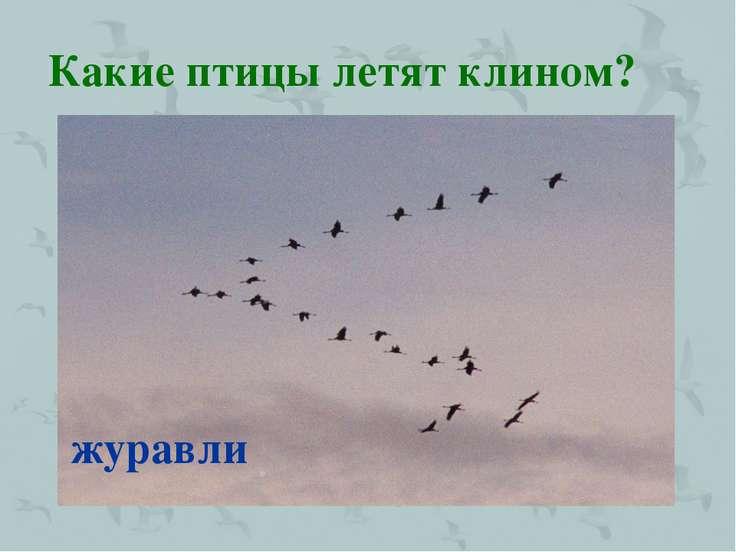 Какие птицы летят клином? журавли