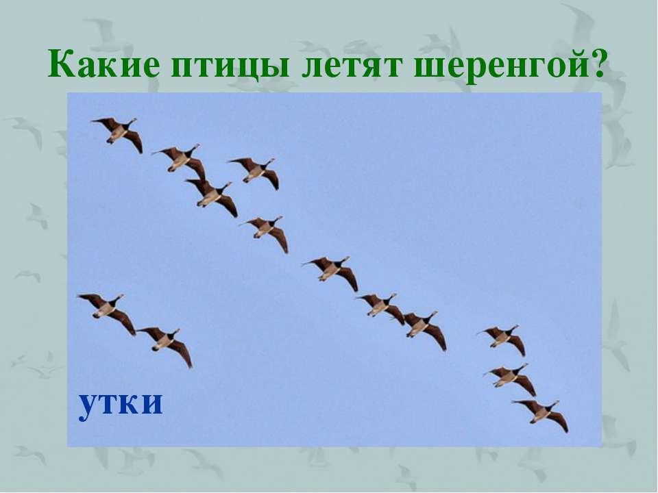 Какие птицы летят шеренгой? утки
