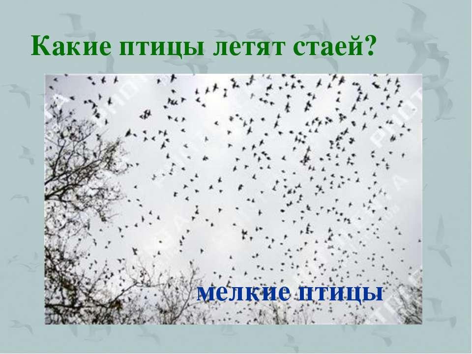 Какие птицы летят стаей? мелкие птицы