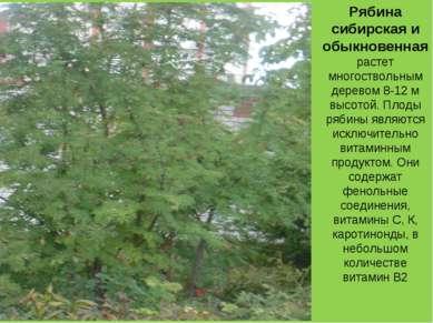 Рябина сибирская и обыкновенная растет многоствольным деревом 8-12 м высотой....
