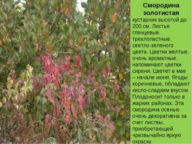 Смородина золотистая кустарник высотой до 200 см. Листья глянцевые, трехлопас...