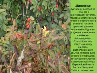 Шиповник Кустарник высотой 50—150 см, с коричневыми ветвями. Молодые листонос...