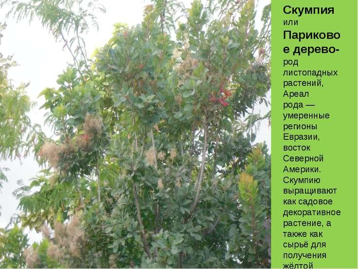 Скумпия или Париковое дерево- род листопадных растений, Ареал рода— умеренны...