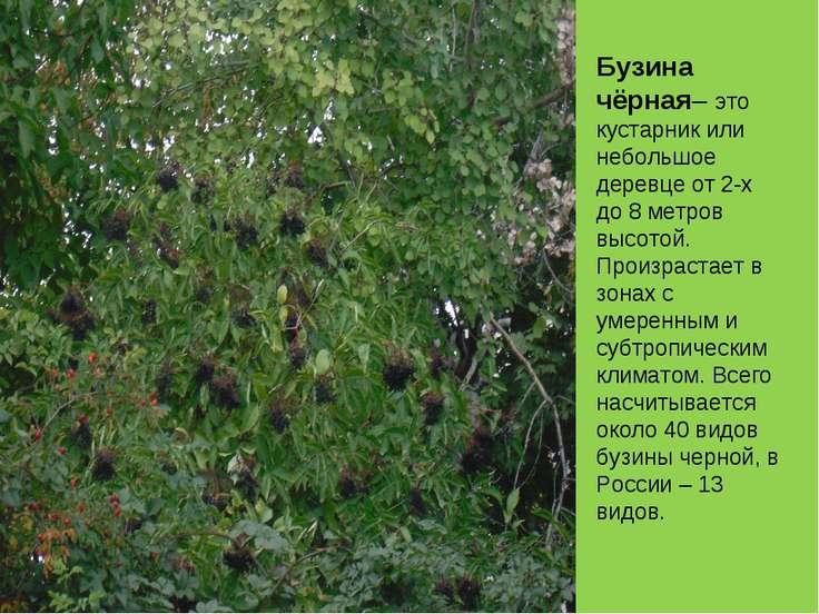 Бузина чёрная– это кустарник или небольшое деревце от 2-х до 8 метров высотой...