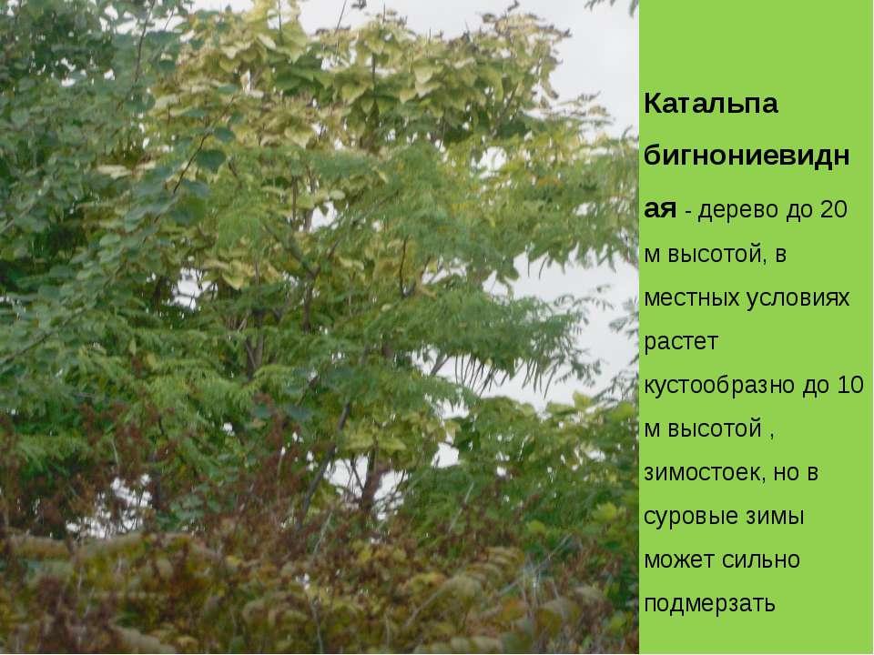 Катальпа бигнониевидная - дерево до 20 м высотой, в местных условиях растет к...