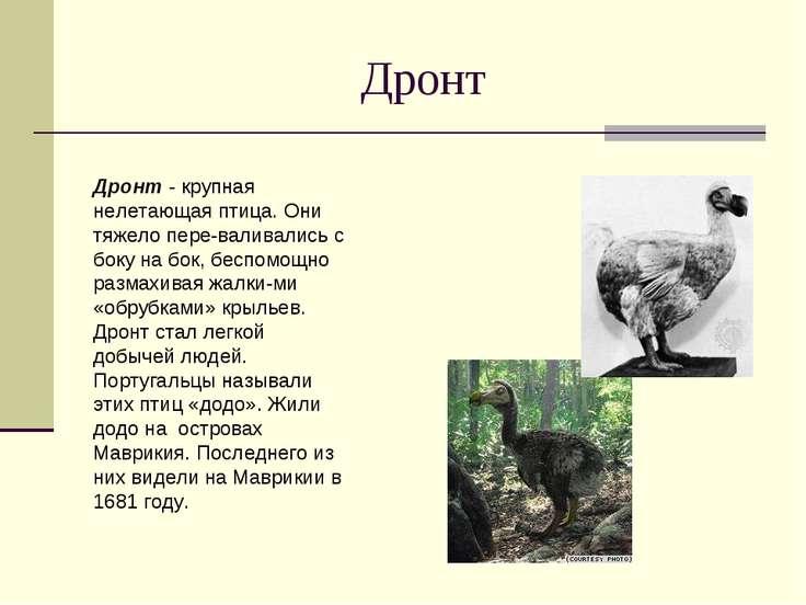 Дронт Дронт - крупная нелетающая птица. Они тяжело пере валивались с боку на ...