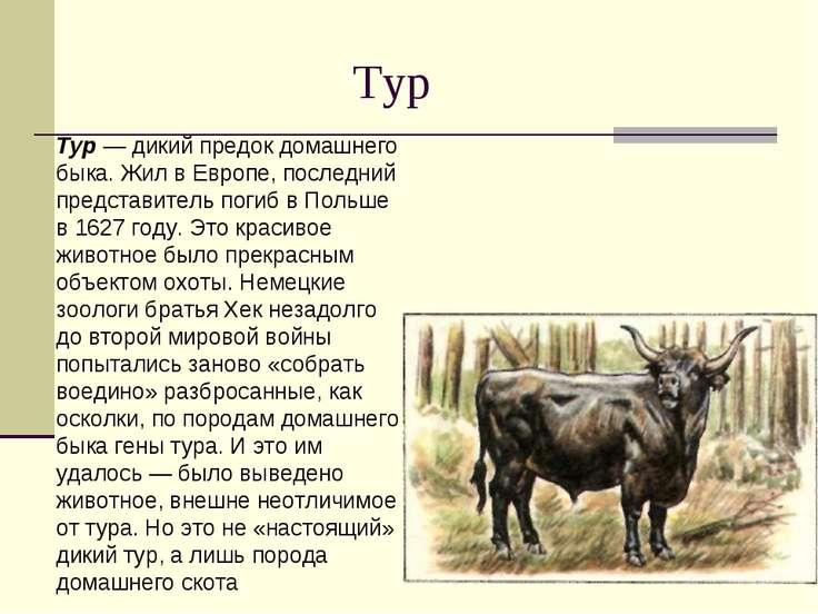 Тур Тур — дикий предок домашнего быка. Жил в Европе, последний представитель ...