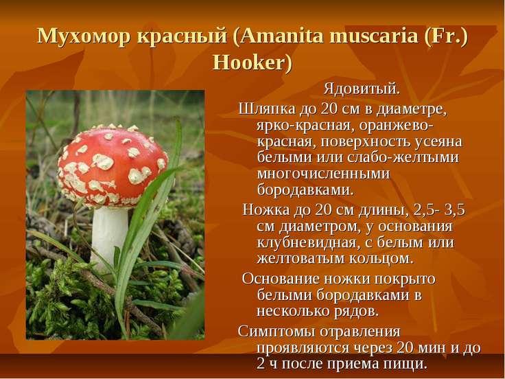 Мухомор красный (Amanita muscaria (Fr.) Hooker) Ядовитый. Шляпка до 20 см в д...