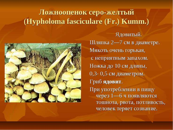 Ложноопенок серо-желтый (Hypholoma fasciculare (Fr.) Kumm.) Ядовитый. Шляпка ...