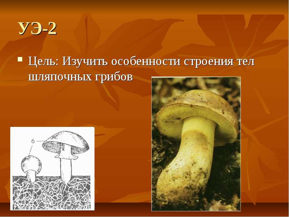 УЭ-2 Цель: Изучить особенности строения тел шляпочных грибов